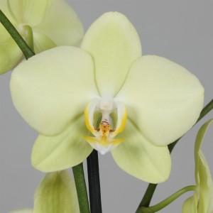 Phalaenopsis ANTHURA ALASSIO