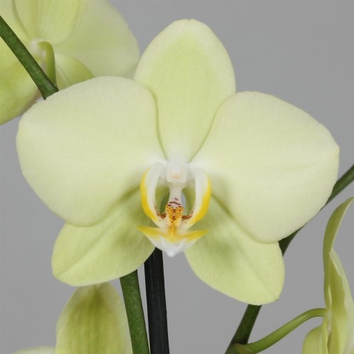 Phalaenopsis ANTHURA ALASSIO (Leerdam Orchideeën)