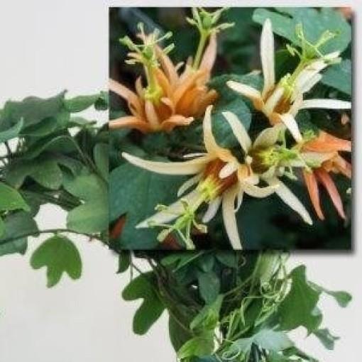 Passiflora aurantia (Plantcare BVBA)