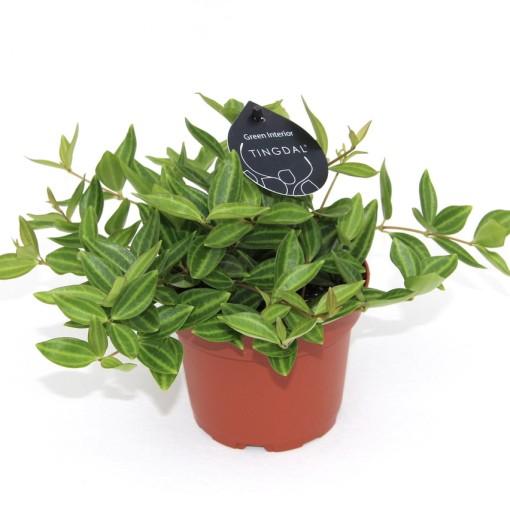 Peperomia angulata 'Rocca Verde' (Gasa DK)