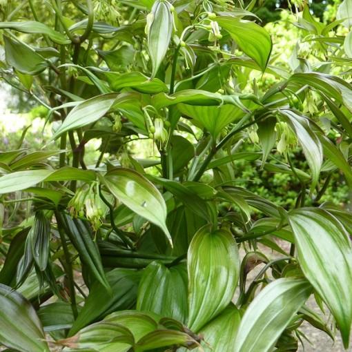 Disporum cantoniense 'Green Giant' (Stervinou)