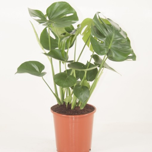 Monstera deliciosa (Ammerlaan, The Green Innovater)