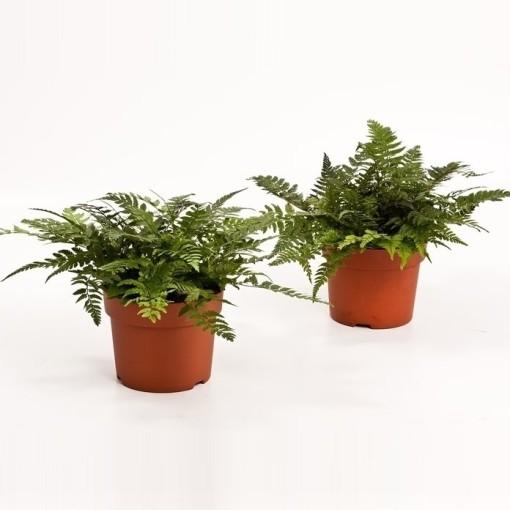 Athyrium spicatum (Bunnik Plants)