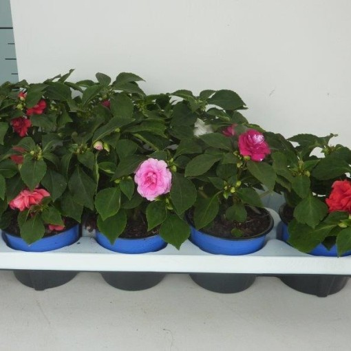 Impatiens FIESTA OLE MIX (Experts in Green)