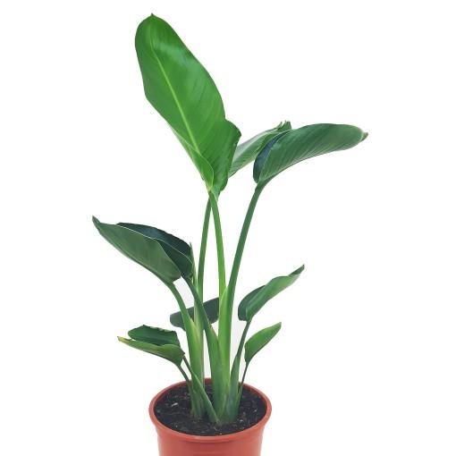 Strelitzia alba (Luiten kwekerij)