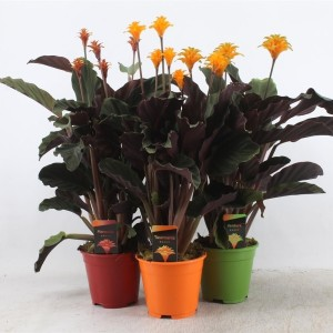 Calathea crocata MIX