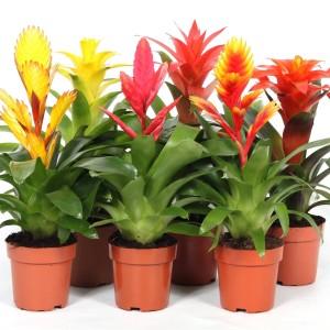 Bromeliads CUPCAKE MIX