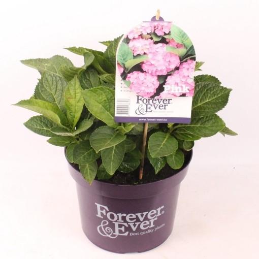 Hydrangea macrophylla FOREVER & EVER PINK (Hkw. van der Velden)