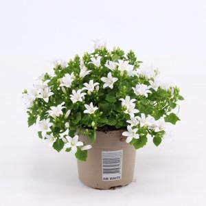 Campanula portenschlagiana AMBELLA WHITE (Kwekerij Montis Zuidplas B.V.)