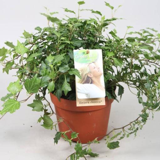 Hedera helix 'Jessica' (Vireõ Plant Sales)