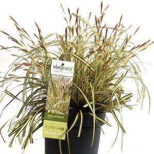 Carex oshimensis 'Evergold' (Hoogeveen Plants)