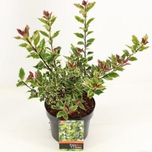 Ilex aquifolium 'Ingramii'