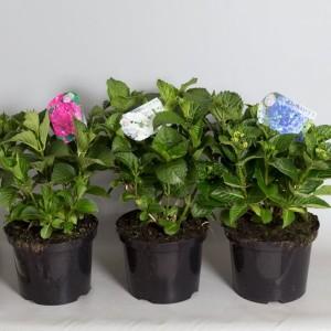 Hydrangea macrophylla MIX (De Jong Plant BV)