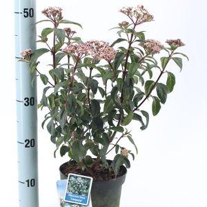 Viburnum tinus LISSPURP (About Plants Zundert BV)