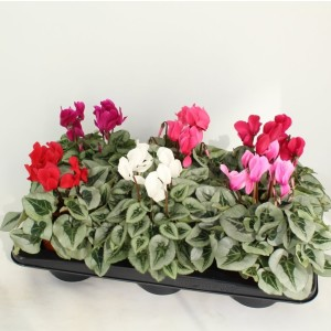 Cyclamen persicum MIDI METALIS MIX (Sonneveld Plants)
