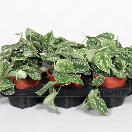 Scindapsus pictus 'Argyraeus' (BK Plant)