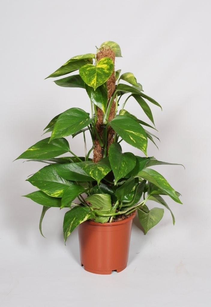 "altezza 15 cm Epipremnum pinnatum /""N-JOY/"""
