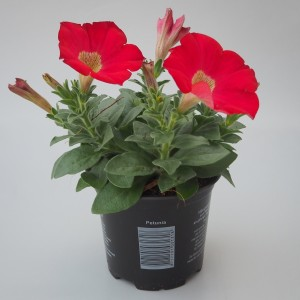 Petunia SURFINIA RED (Sonneveld Plants)