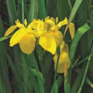 Iris pseudacorus (van der Velde Waterplanten BV)