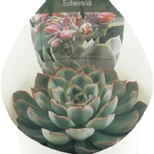 Echeveria pulidonis (Giromagi)