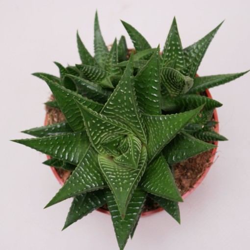 Haworthia limifolia limifolia (Ubink)