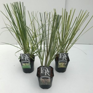 Cortaderia selloana PAMPAS MIX