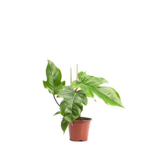 Philodendron squamiferum (Ichtus Flowers)