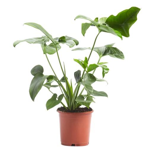 Philodendron 'Green Wonder' (Ichtus Flowers)