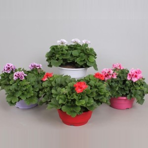 Pelargonium GRANDIFLORUM MIX