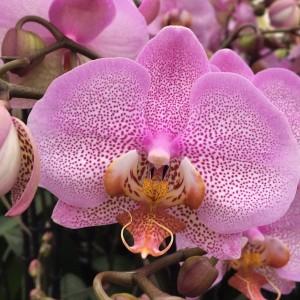 Phalaenopsis FORMATION