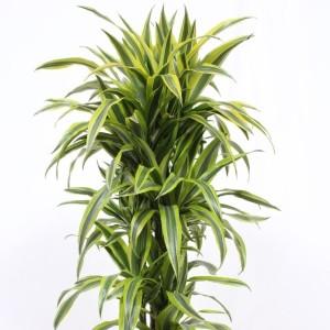 Dracaena fragrans 'Lemon Lime'