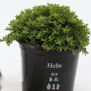 Hebe albicans 'Prostrata'