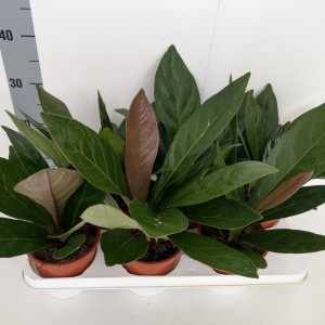 Anthurium ellipticum JUNGLE BUSH (RuBa Baers)
