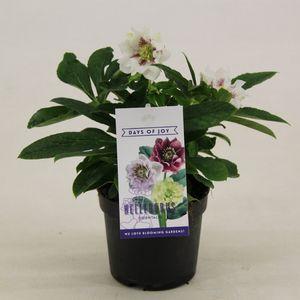Helleborus orientalis MIX