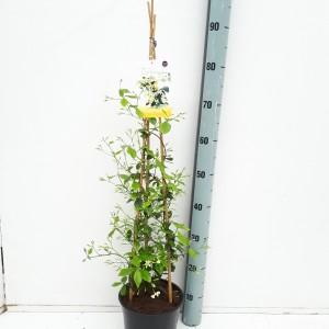 Trachelospermum jasminoides STAR OF TOSCANE