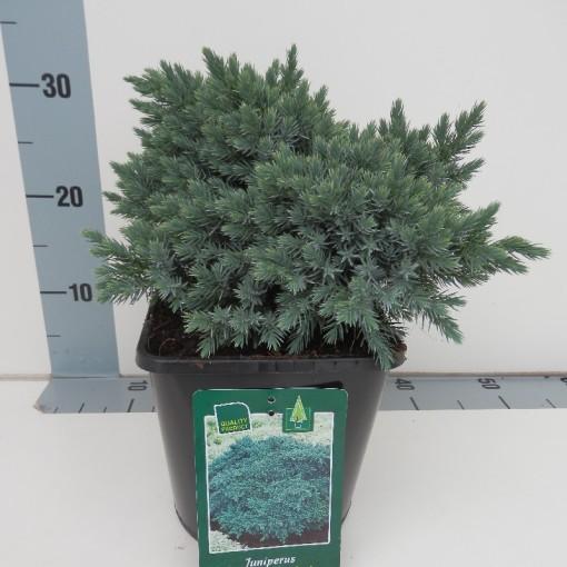 Juniperus squamata 'Blue Star' (De Koekoek Potcultures)