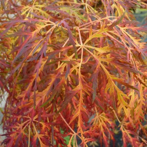 Acer palmatum 'Dissectum' (Van Son & Koot BV)