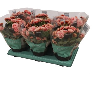 Begonia BORIAS (J&P Ten Have BV)