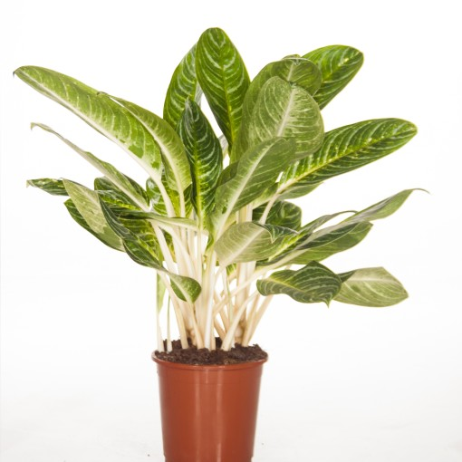 Aglaonema 'Key Lime' (Ammerlaan, The Green Innovater)