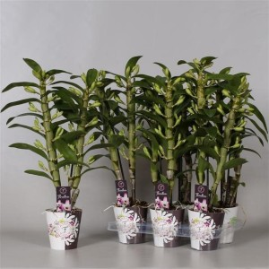 Dendrobium nobile STAR CLASS MOMOKO (De Hoog Orchids)