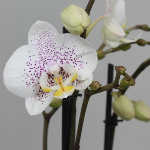 Phalaenopsis ANTHURA OSLO (Leerdam Orchideeën)