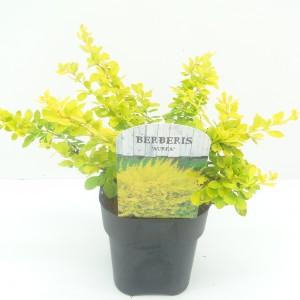 Berberis thunbergii 'Aurea' (Hooftman boomkwekerij)