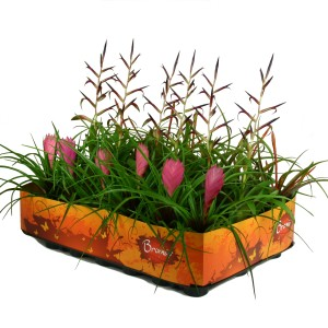 Tillandsia MIX (Ammerlaan, The Green Innovater)