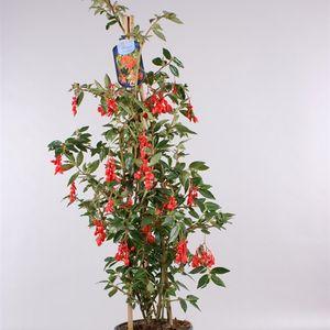 Begonia fuchsioides 'Red' (Gebr. Seuren Rozenkwekerijen BV)
