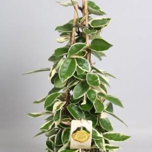 Hoya carnosa 'Krimson Queen' (Handelskwekerij van der Velden)