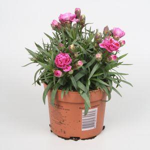 Dianthus SUPER TROUPER DIWALI