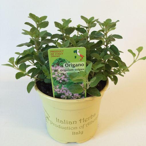 Origanum vulgare (Green Collect Sales)