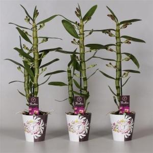 Dendrobium nobile STAR CLASS AKATSUKI (De Hoog Orchids)
