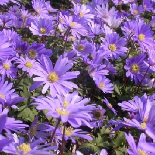 Anemone blanda 'Blue Shades' (Admiraal Handelskwekerij)