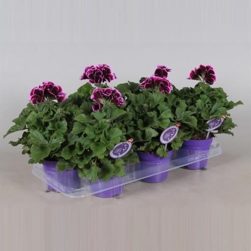 Pelargonium 'Denise' (Adrichem Potplanten)